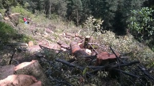 Xochicuautla tala de árboles para la construcción de la Autopista Toluca - Naucalpan. Foto: CDHZL